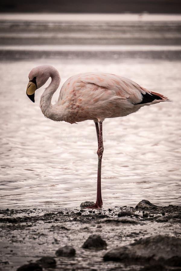 Flamingotribunes alleen bij de rand van een meer stock foto