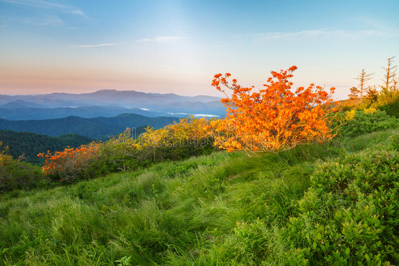 Flammaazaleor, rhododendron Calendulaceum, Roan Mountain NC arkivfoton