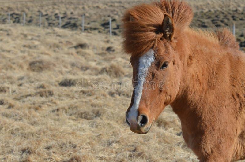 Flamme blanche mignonne sur un cheval de châtaigne photos libres de droits