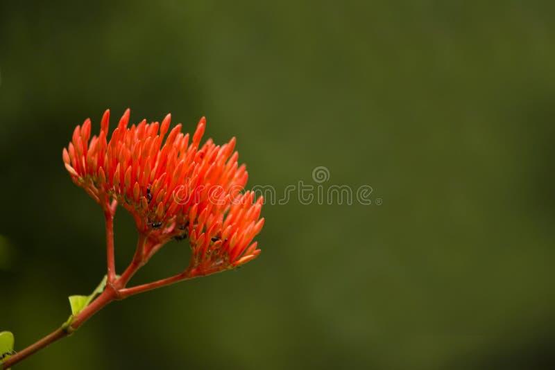 Flamme de jungle, coccinea d'Ixora, Aga Khan Palace, secteur de Pune, maharashtra, Inde photos stock
