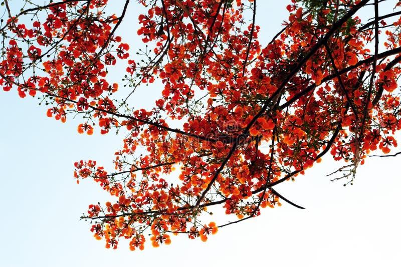 Flammebaum stockbild