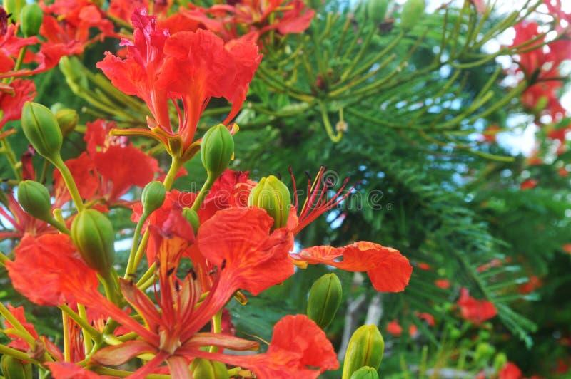 Flammebaumblumen stockbild