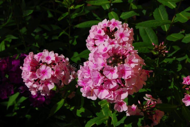 Flammenblume, Flammenblume paniculata lizenzfreie stockfotos