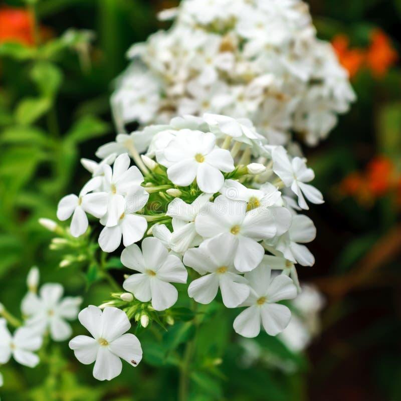 Flammenblume paniculata, weißer Admiral im Garten Selektiver Fokus stockbilder
