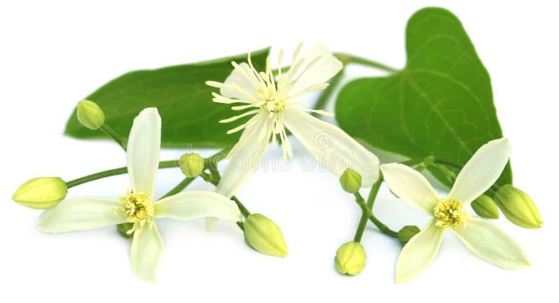 Flammula de clématite ou tonnelle vierge au parfum délicieux du ` s image stock