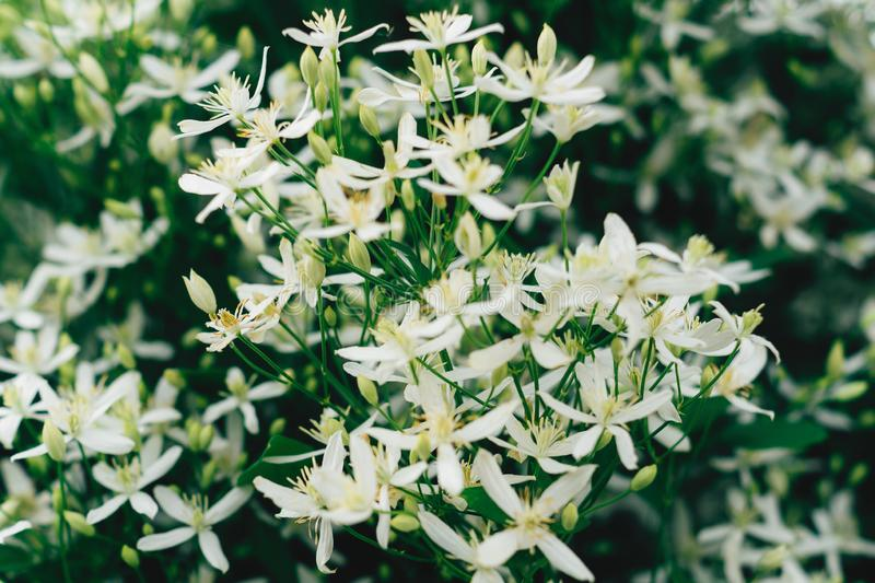 Flammula de la clemátide, fondo blanco de las flores del verano Macizo de flores hermoso impresionante con los pequeños pétalos P foto de archivo libre de regalías