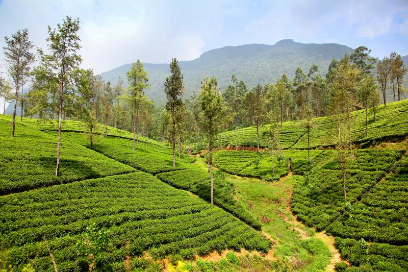 Flanc de coteau vert des plantations de thé en Ella Sri Lanka photographie stock