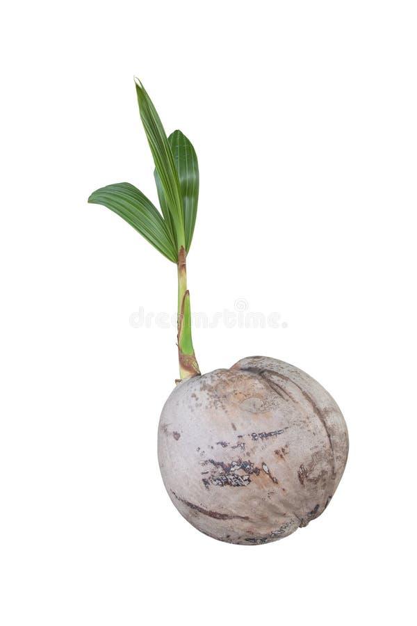 Flanca kokosowy doro?ni?cie na bia?ym tle zdjęcia stock