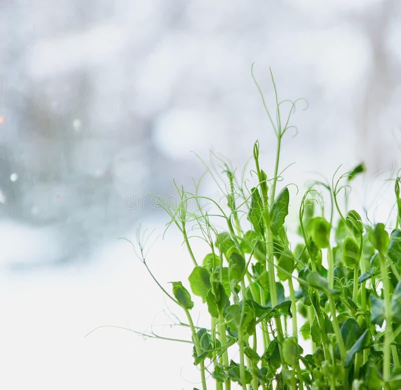 Flance młodzi grochy blisko do tekstury młode flance młodzi grochy, Mikro zieleni zakończenie obraz stock