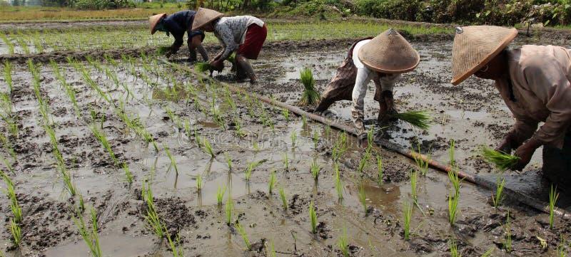 Flancowania ryż rozsady obraz stock