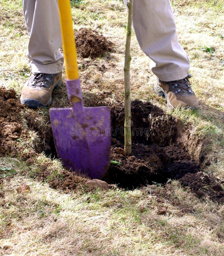 flancowania sapling drzewo zdjęcia stock