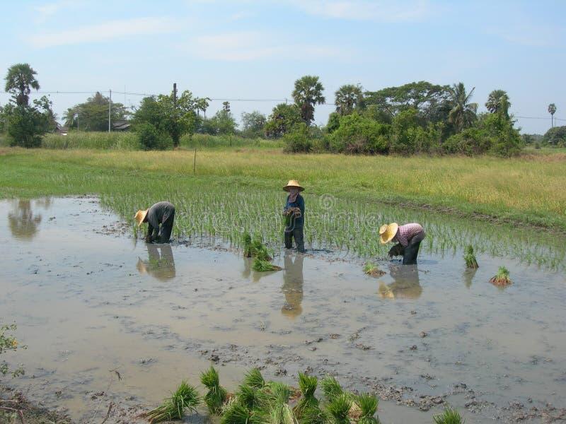 flancowanie ryż zdjęcia stock