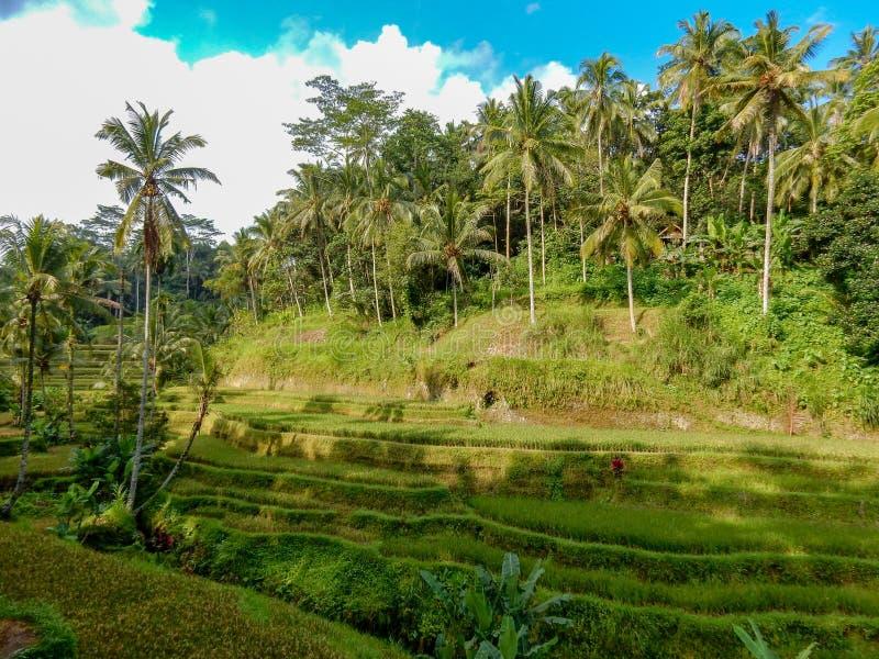 Flancowanie ryż na zbocze góry, spadającej kaskadą, z drzewkami palmowymi i niebieskim niebem zdjęcia royalty free