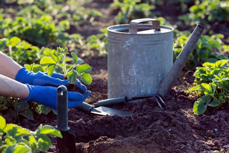 Flancowanie truskawki w ogródzie obrazy royalty free