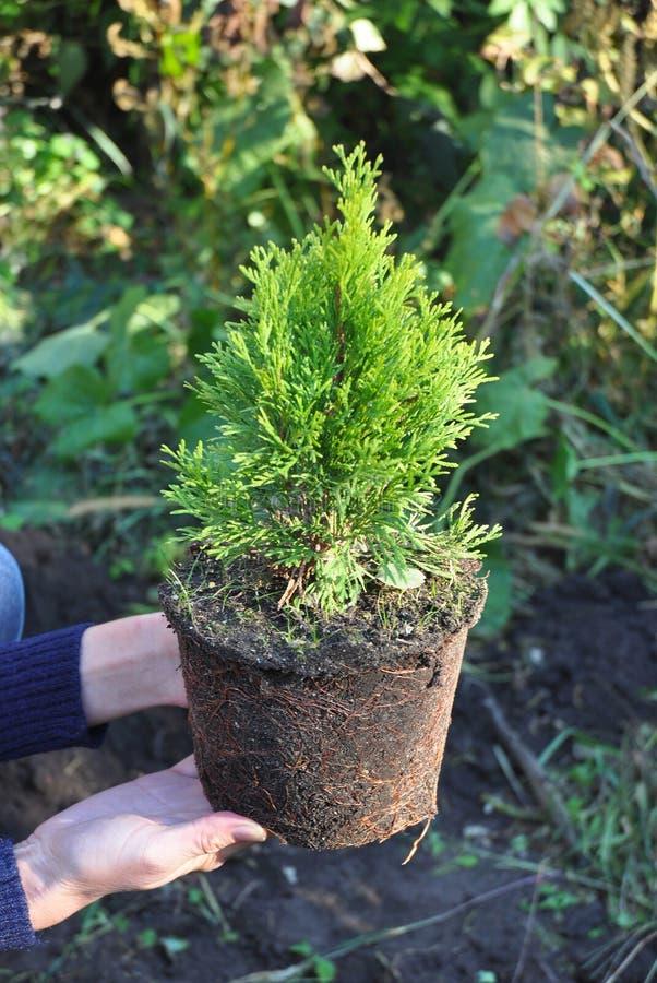Flancowanie tuja Ogrodniczka Wręcza Zasadzać Cyprysowego drzewa obraz stock