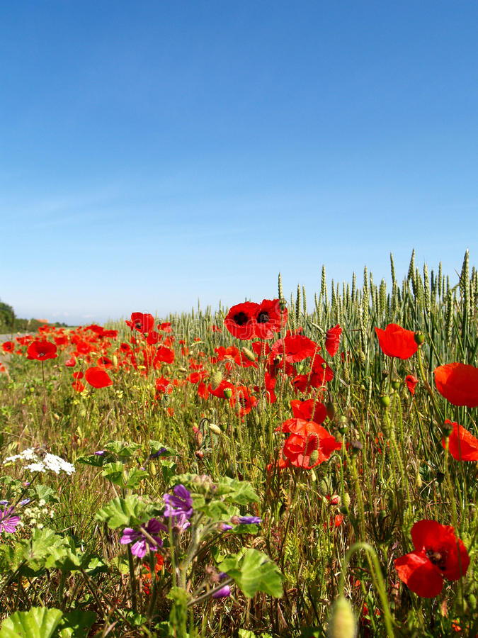 Flanders Field poppy. A field of poppies in the fields of Flanders Northern France stock photography
