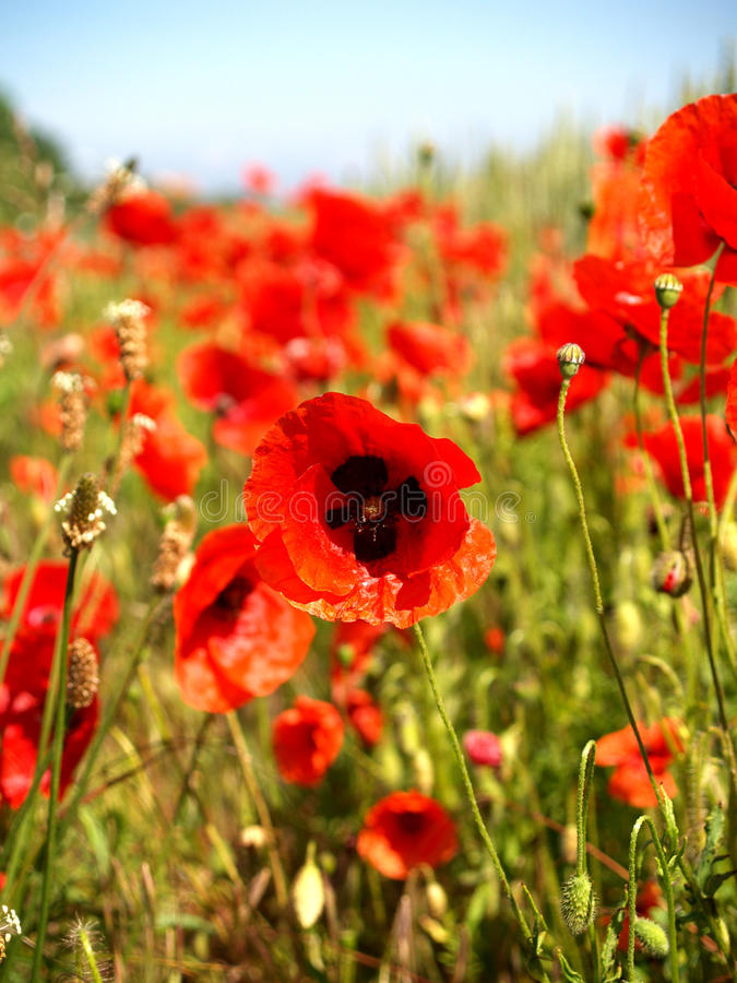 Flanders Field poppy stock images