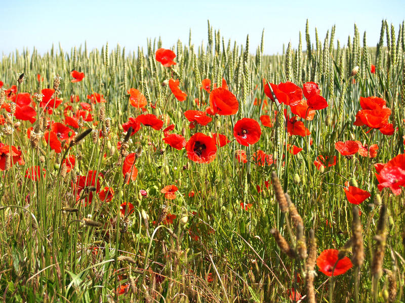 Flanders Field poppy. A field of poppies in the fields of Flanders Northern France royalty free stock photo