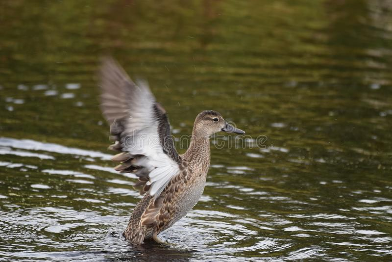 IN A FLAP , AMERICAN BLACK DUCK. LANDING GEAR IS DOWN , AMERICAN BLACK DUCK , SET TO LAND IN THE LAKE ALBERTA stock images