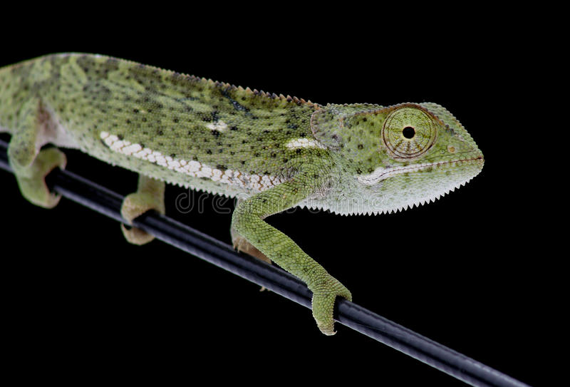 Flap-necked Chameleon Royalty Free Stock Images