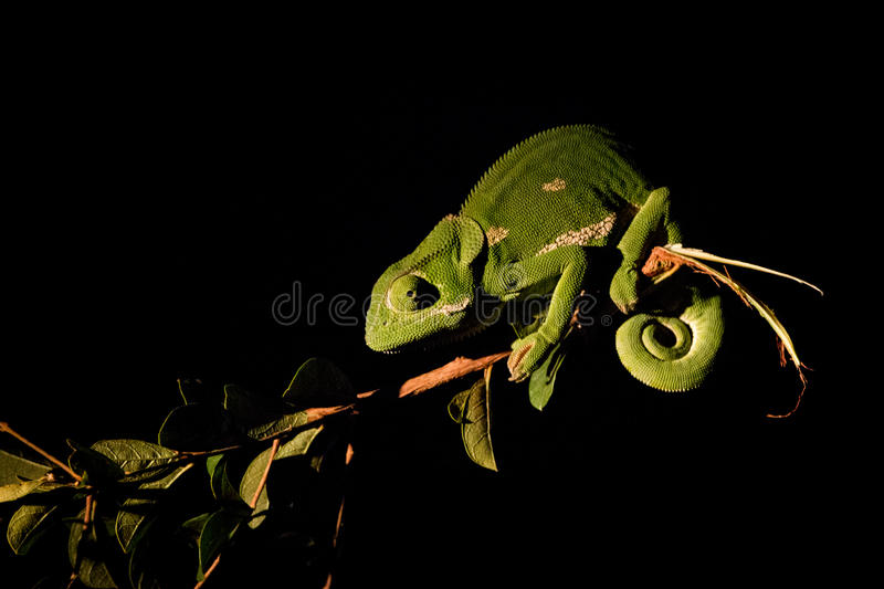 A Flap-necked chameleon on a branch in the spotlight. A Flap-necked chameleon on a branch in the spotlight in the Kruger National Park, South Africa stock photos