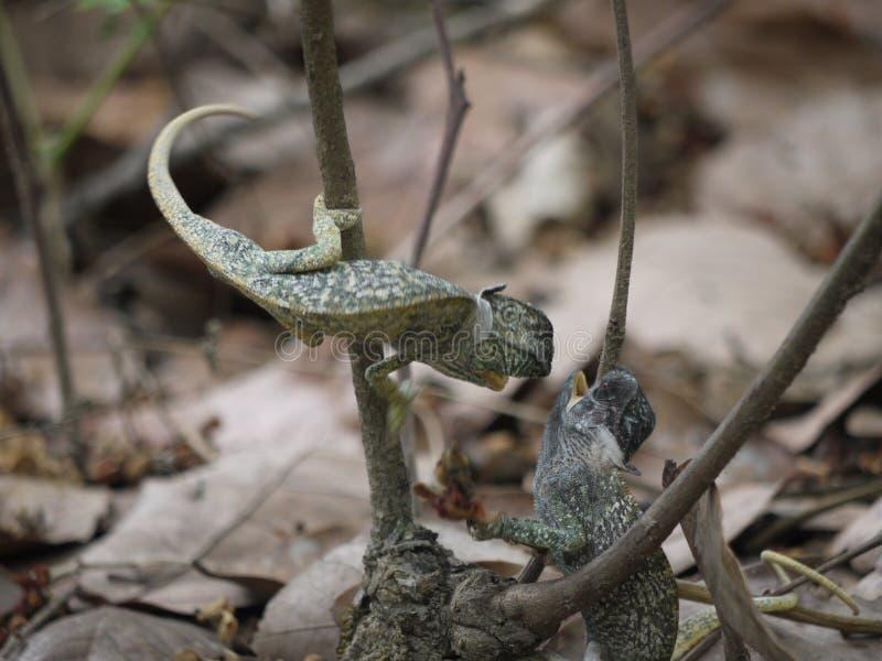 Flap-necked Chameleons. (Chamaeleo dilepis) in Zambia royalty free stock image
