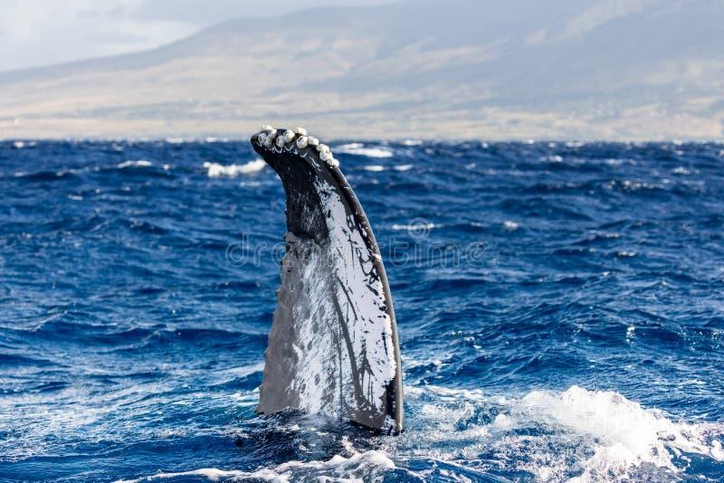 Flapper of a humpback whale. Maui, Hawaii stock photos