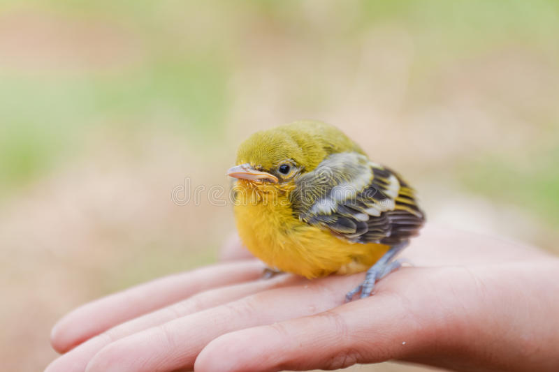 Flapper Striped Tit-Babbler. In hand stock photo