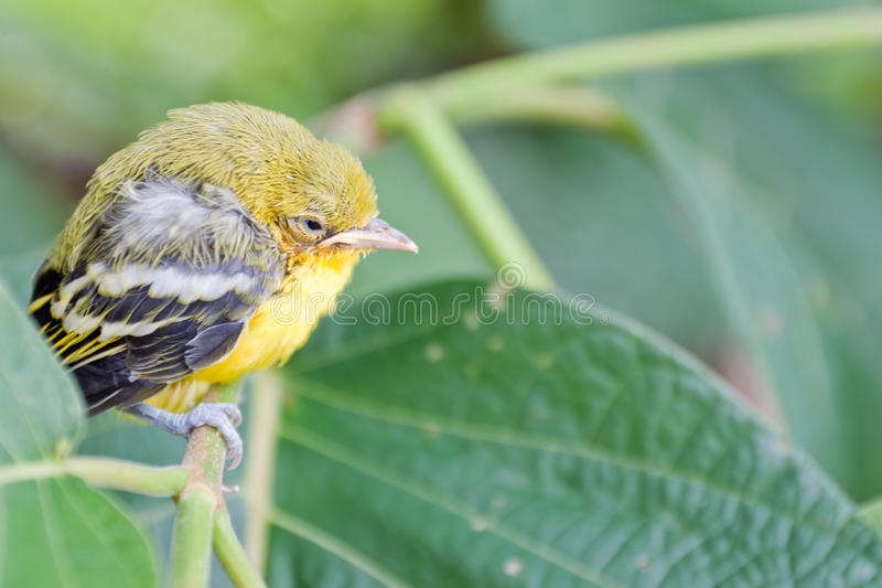 Flapper Striped Tit-Babbler. In nature stock photos