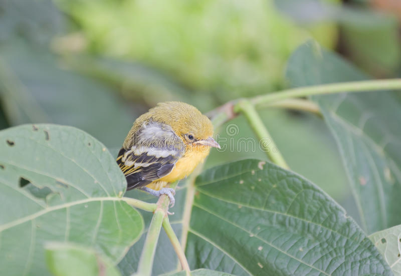 Flapper Striped Tit-Babbler. In nature stock photo
