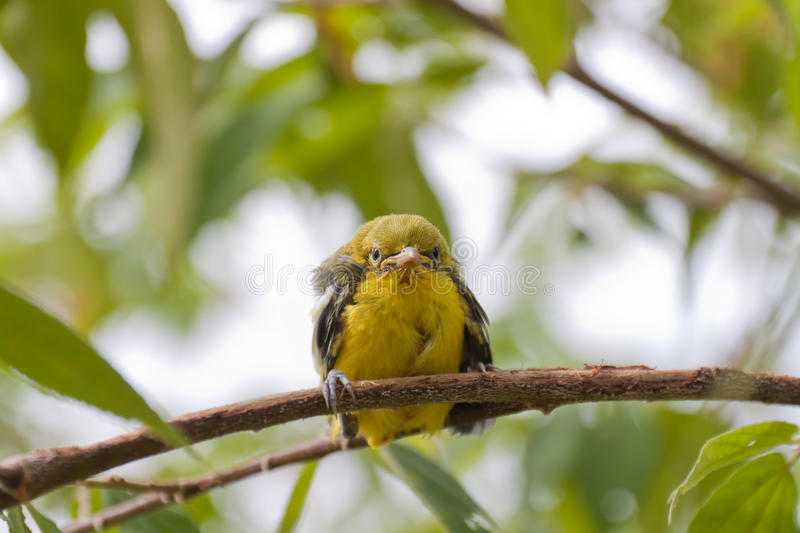 Flapper Striped Tit-Babbler. In nature royalty free stock images