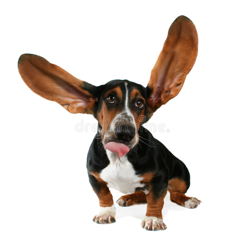 Flapping ears. A basset hound with long flapping ears royalty free stock images