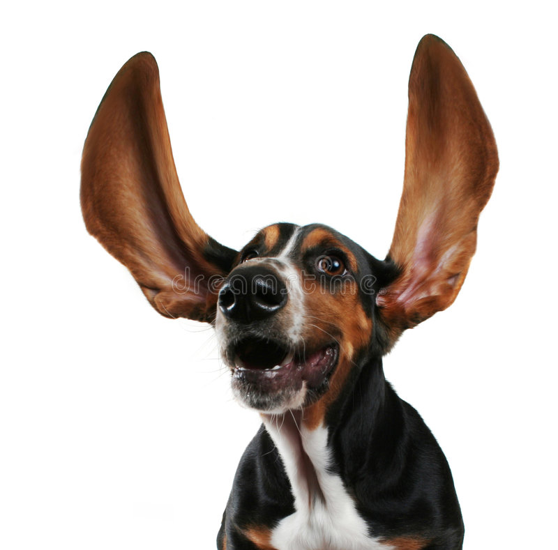 Flapping ears. A basset hound with long flapping ears stock photo