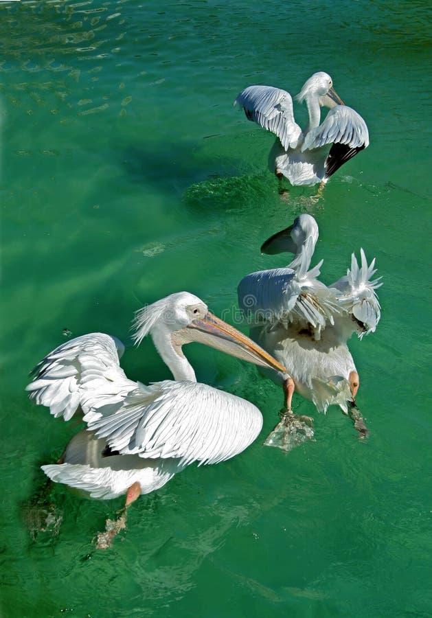 Flapping för pelikan royaltyfri foto