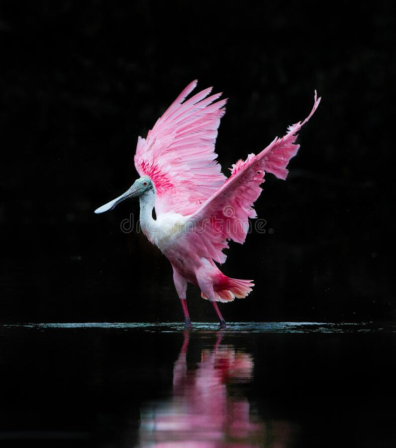 Free Flapping Its Wings, The Rosette Spoonbill Dries Its Wings After Bathing Stock Image - 194753151