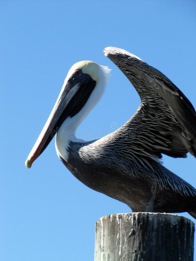Flapping Pelican Perched on a Piling stock images