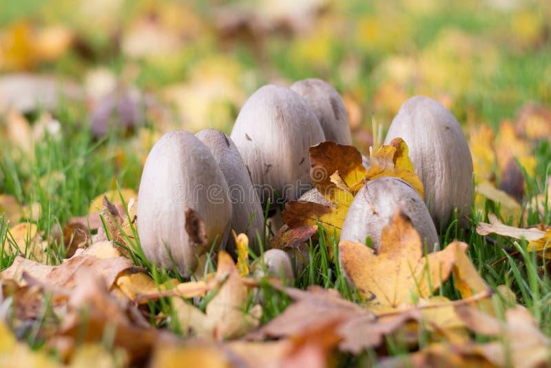 Flard van giftige paddestoelen/paddestoelen in bos in de Herfst met gevallen bladeren stock foto