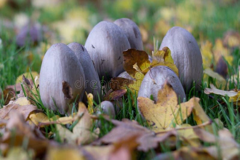 Flard van giftige paddestoelen die die wildernis in het bos in de herfst kweken door bruine bladeren wordt omringd royalty-vrije stock foto's