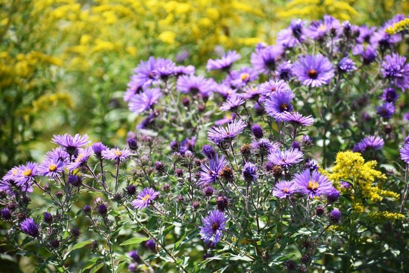 Flard van lavendelbloemen royalty-vrije stock afbeelding