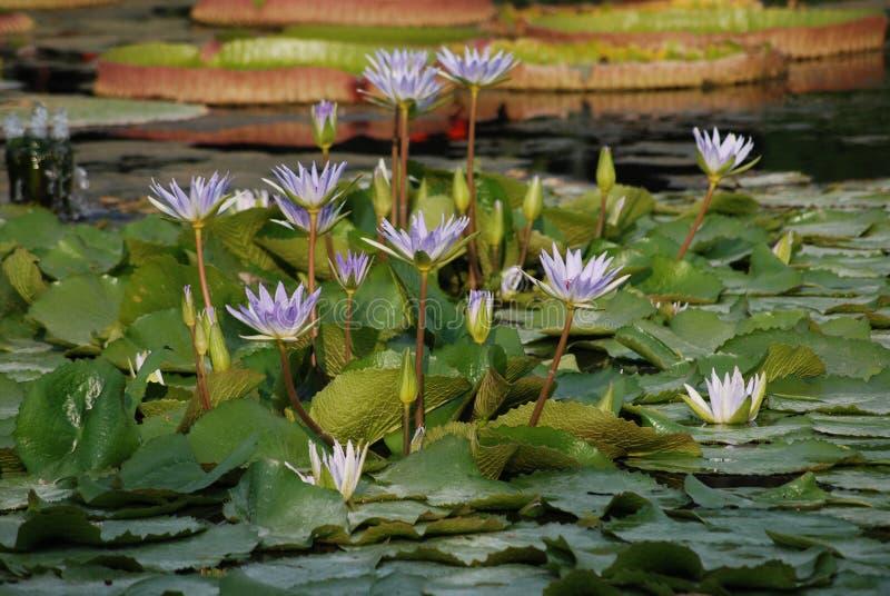 Flard van Lilac Waterlelies in Vijver - Nmyhaea Nouchali royalty-vrije stock fotografie