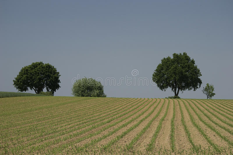 Flared Corn On Cropland Royalty Free Stock Photos