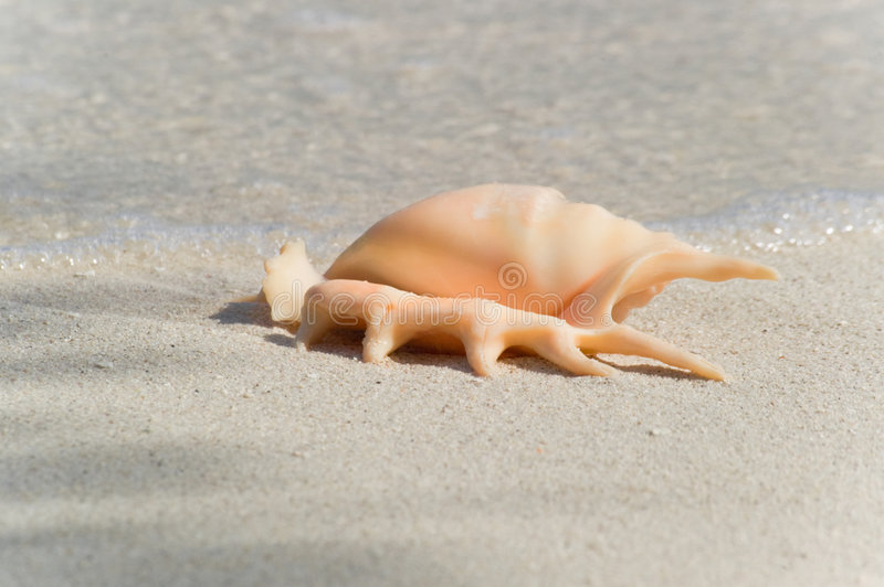 Flared and pronged Spider conch Seashell royalty free stock photo