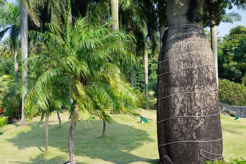 Flasche Baum-palmae-Palme-subtropisch lizenzfreie stockfotos