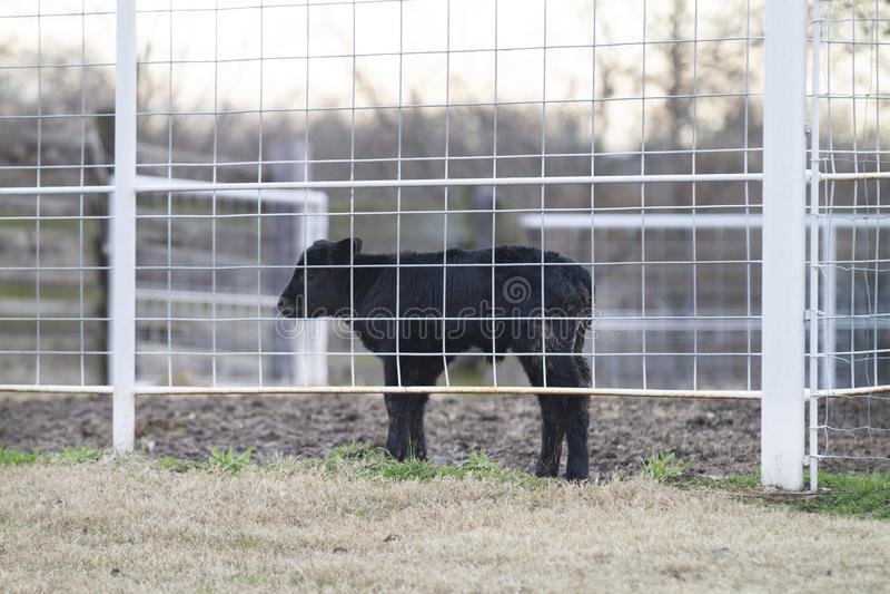 Flaschenkalb, neugeborenes Angus-Viehkalb in einem Zaun lizenzfreies stockfoto