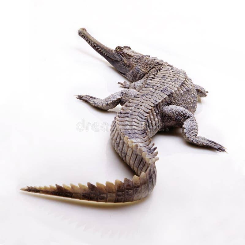 flase gharial隔绝有白色背景 图库摄影