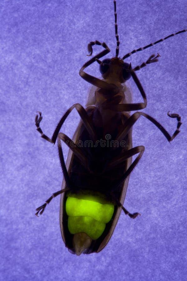 Flashing Firefly - Lightning Bug stock image