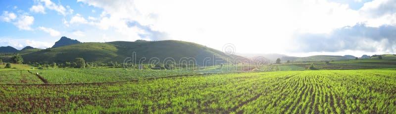 Flashy green ricefields royalty free stock photo