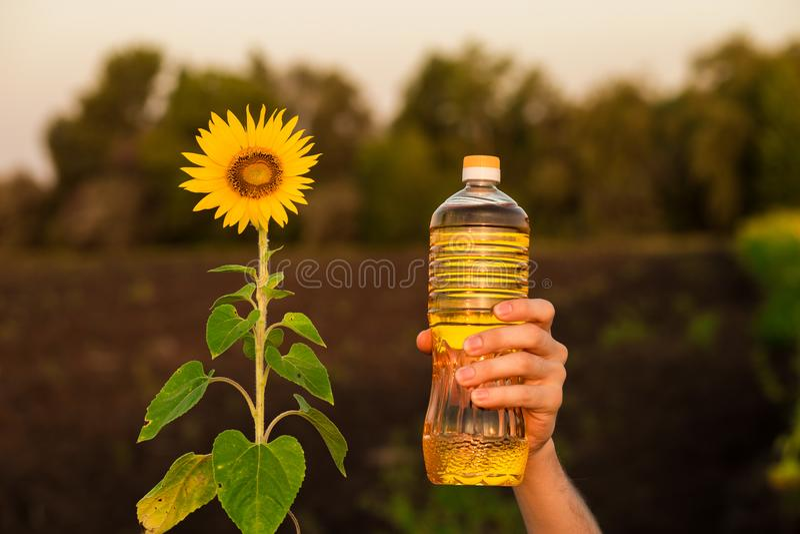 Flaska för håll för hand för man` s av solrosolja Solrosolja förbättrar hudhälsa royaltyfria bilder