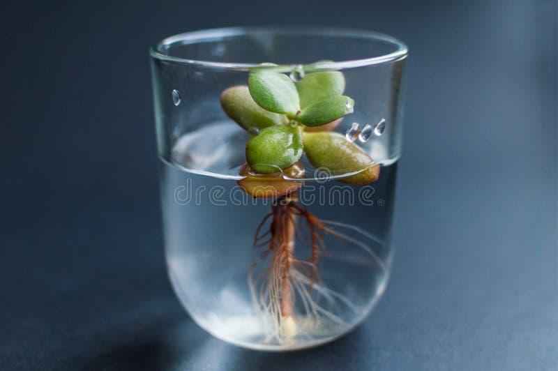Flaska med rent vatten och den lilla suckulenta växten inom Begrepp av ekologi, behandling, omsorg, sjukvård, miljö royaltyfria bilder