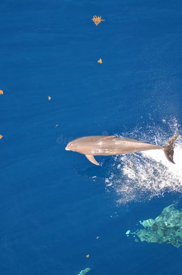 Flaska-näsa delfin, Tursiopstruncatus som hoppar ut ur vattnet, Atlantic Ocean arkivbilder